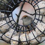 Blackcap Forres 9 Jan 2019 Alison Ritchie