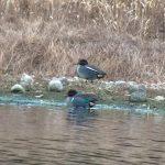 Green winged Teal Loch Flemington 1 Jan 2019 Jon Clarke