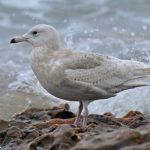 Iceland Gull Lossiemouth west beach 20 Jan 2019 Margaret Sharpe P