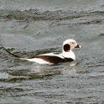 Long tailed Duck Burghead harbour 12 Jan 2019 Gordon Biggs 1