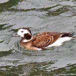 Long tailed Duck Burghead harbour 12 Jan 2019 Gordon Biggs 3