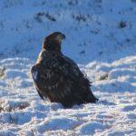White tailed Eagle Aitnoch 19 Jan 2019 Steve Broyd 1