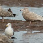 Glaucous Gull Lossie estuary 26 Feb 2019 David Main