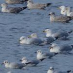 Iceland Gull Loch Spynie 15 Feb 2019 Allan Lawrence
