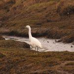 Little Egret Findhorn Bay 28 Feb 2019 Gordon McMullins 2