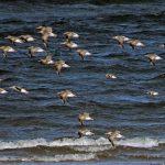 Bar tailed Godwit Nairn 14 Mar 2019 Jack Harrison