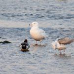 Glaucous Gull Lossie estuary 4 Mar 2019 Chris Thomas 1