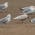 Iceland Gull Lossie estuary 2 Mar 2019 David Main