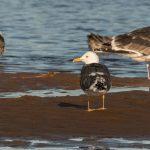 Lesser Black backed Gull Lossie estuary 5 Mar 2019 David Main 1