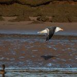 Lesser Black backed Gull Lossie estuary 5 Mar 2019 David Main 2