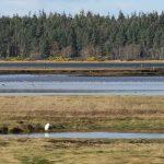 Little Egret Findhorn Bay 3 Mar 2019 Richard Somers Cocks 1