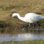 Little Egret Findhorn Bay 3 Mar 2019 Richard Somers Cocks 2