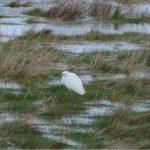 Little Egret Findhorn Bay 7 Mar 2019 Allan Lawrence