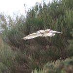 Short eared Owl Findhorn Bay 13 Mar 2019 Richard Somers Cocks