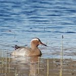 Garganey Loch Loy 29 Apr 2019 Colin Leslie