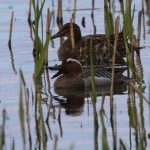 Garganey Loch Spynie 26 Apr 2019 Carol Armour 1