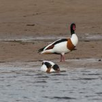 Shelduck Lossie estuary 26 April 2019 David Main