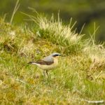Wheatear Aitnoch 23 Apr 2019 Alison Ritchie