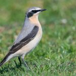 Wheatear Findhorn dunes 24 Apr 2019 Mike Crutch