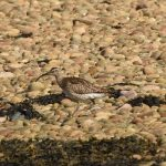 Whimbrel Findhorn Bay 25 Apr 2019 Gordon McMullins