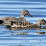 Gadwall Loch Spynie 9 May 2019 Richard Somers Cocks