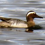 Garganey Loch Spynie 10 May 2019 Jack Harrison 1