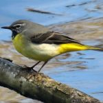 Grey Wagtail Loch Spynie 10 May 2019 Jack Harrison
