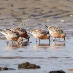 Knot orange U9 Findhorn Bay 6 May 2019 Richard Somers Cocks