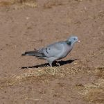 Stock Dove Darkland 16 May 2019 David Law