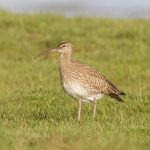Whimbrel Findhorn Bay 7 May 2019 Richard Somers Cocks