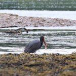 Black Stork Findhorn Bay 10 Jun 2019 Martin Cook 2