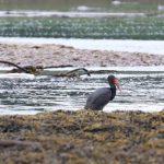 Black Stork Findhorn Bay 10 Jun 2019 Martin Cook 3
