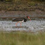 Black Stork Findhorn Bay 9 Jun 2019 Gordon McMullins P