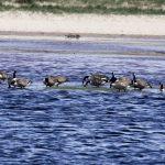 Canada Geese Lossie estuary 1 Jun 2019 Jim Simpson