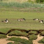 Canada Geese Lossie estuary 16 Jun 2019 David Main 3