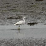 Little Egret Findhorn Bay 21 Jun 2019 Gordon McMullins 2