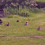 Mandarin Ducks Cawdor 1 Jun 2019 Jack Harrison 1