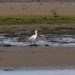 Spoonbill Findhorn Bay 9 Jun 2019 Gordon McMullins