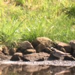 Little Ringed Plover Hopeman 30 Jul 2019 Martin CookP