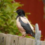 Rose coloured Starling Nairn 2 Jul 2019 Kate McArdle P