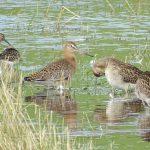 Black tailed Godwit near Elgin 12 Aug 2019 Lesley Morrison 1