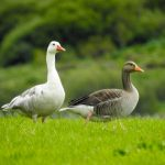 Greylag Goose Little Aitnoch 6 Aug 2019 Alison Ritchie