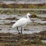Spoonbill Findhorn Bay 1 Aug 2019 Richard Somers Cocks 2