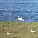 Spoonbill Findhorn Bay 15 Aug 2019 Richard Somers Cocks