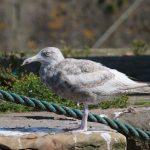 Viking Gull Burghead 13 Aug 2019 Martin Cook