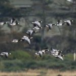 Barnacle Geese Findhorn Bay 27 Sept 2019 Richard Somers Cocks 2