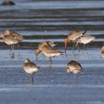 Black tailed Godwits Findhorn Bay 11 Sept 2019 Richard Somers Cocks
