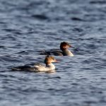 Goosanders off Findhorn dunes 10 Sept 2019 Richard Somers Cocks