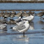 Kittiwake Findhorn beach 8 Sept 2019 Richard Somers Cocks