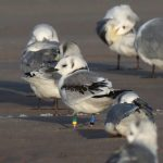 Kittiwake GYmr BBN Findhorn beach 17 Sept 2019 Richard Somers Cocks
